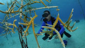 Bonaire kweekt succesvol koraal