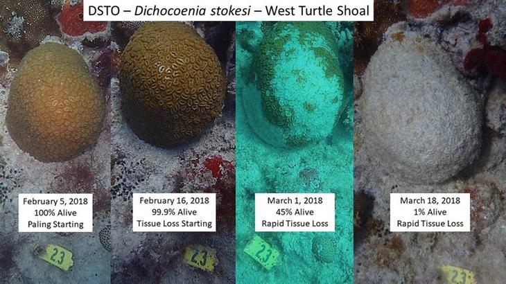 koraalziekte