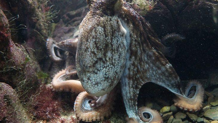 Slapende octopus lijkt te dromen