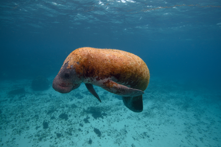 manatee Belize