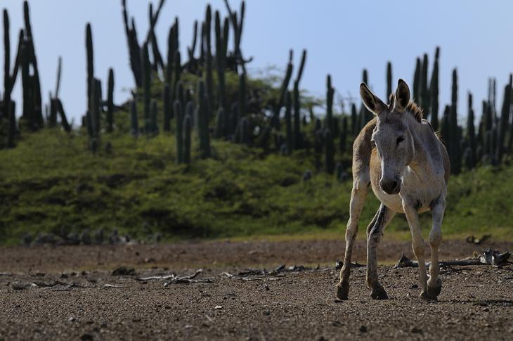 Bonaire ezelopvang