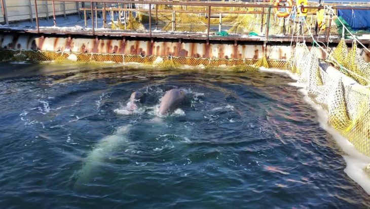 Rusland laat orka's vrij uit walvisgevangenis