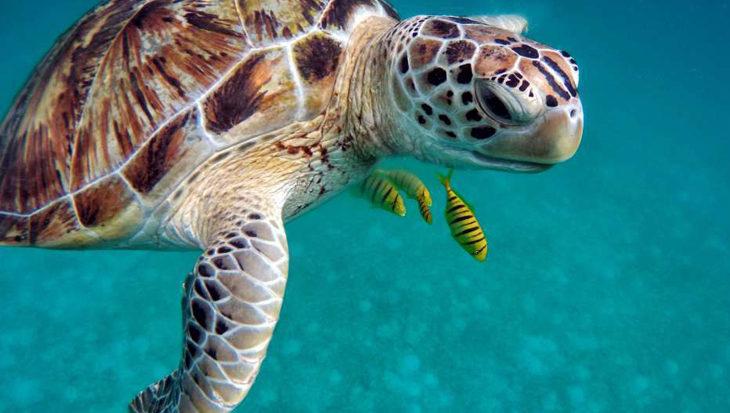 Aantal soepschildpadden rond Hawaïaanse eilanden neemt toe