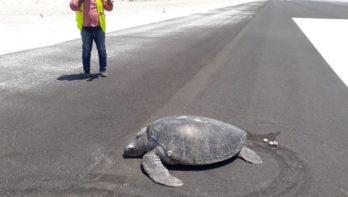 Zeeschildpad moet eieren achterlaten op landingsbaan