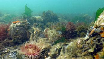 Herstel schelpdierbanken Noordzee is mogelijk