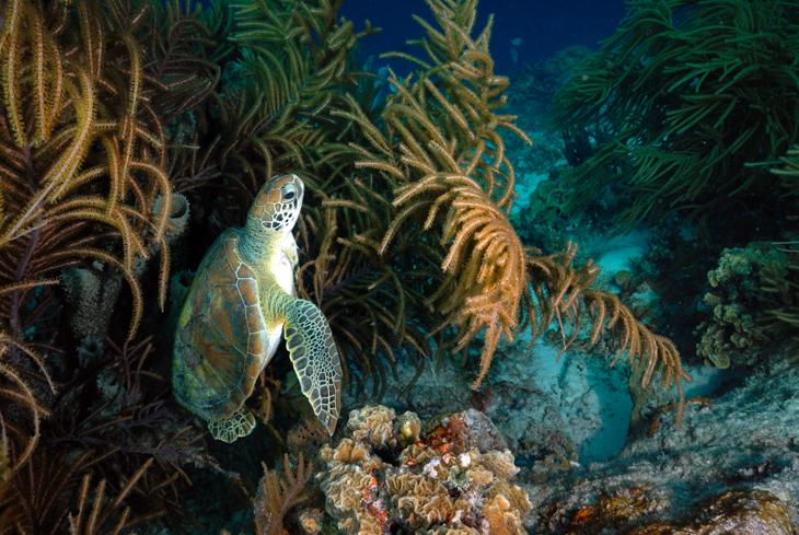 plastic schildpad