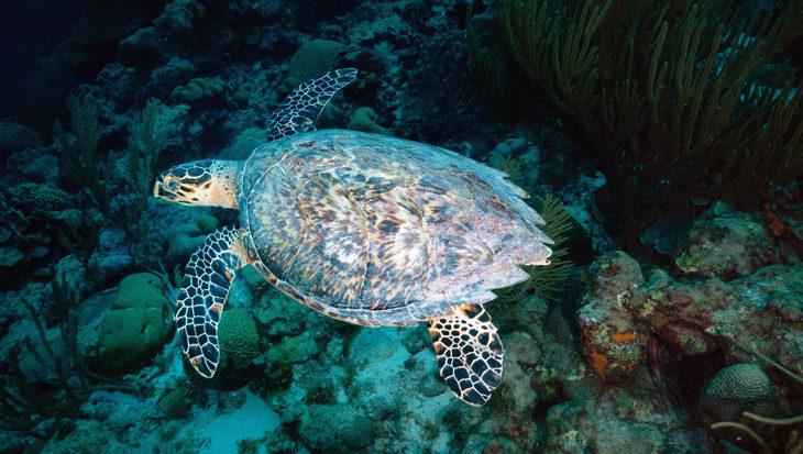 Op zoek naar jonge schildpadjes op Bonaire