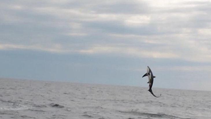 Springende voshaai in de Noordzee