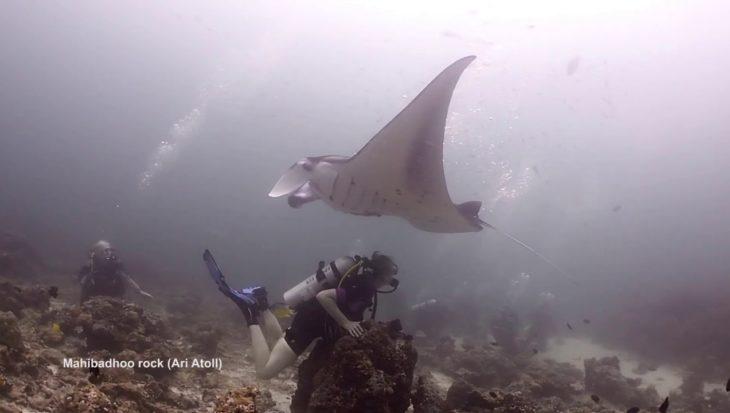 De beledigde manta in de Malediven