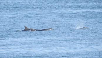 Groep dolfijnen gespot tussen Texel en Den Helder