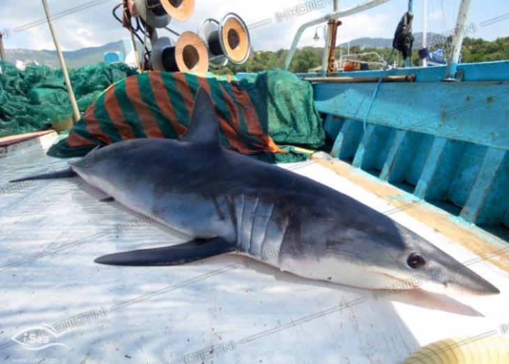 haaienvlees