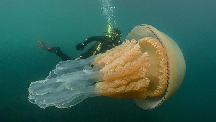 Bloemkoolkwal van 1,5 meter gespot voor Engelse kust
