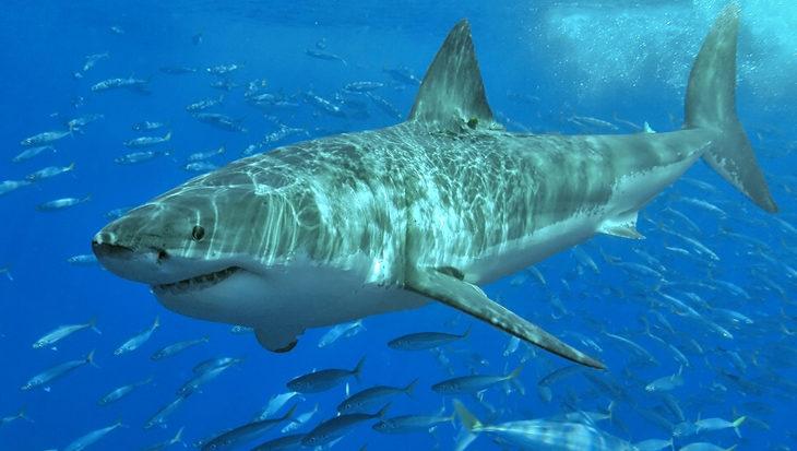 Ook de witte haai heeft zo zijn angsten
