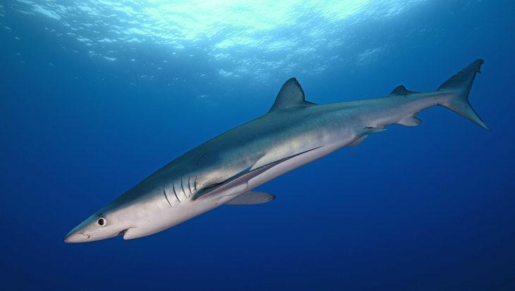 Haaienvlees verkocht als zwaardvis