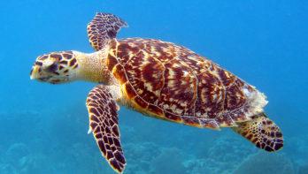 Red de karetschildpad wel/niet