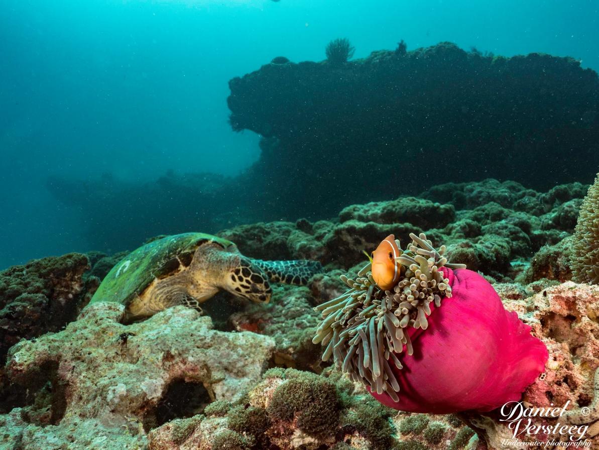 Malediven zeeschildpad