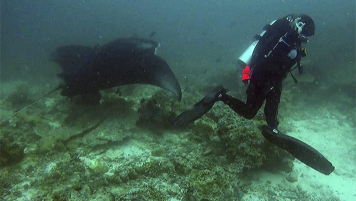 De beledigde manta op de Malediven