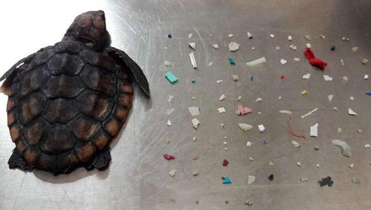 Babyschildpad met 104 stukken plastic in zijn lijf