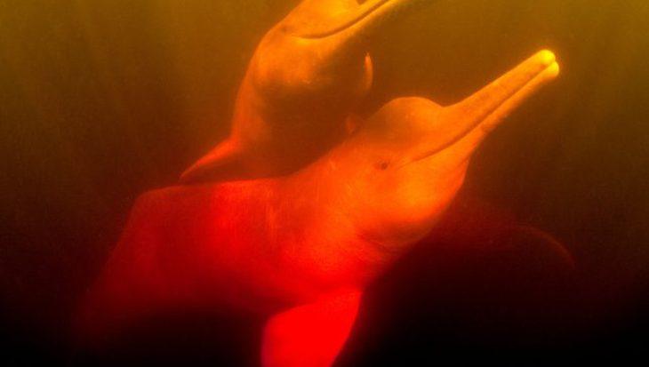 Satellietzenders laten bedreigingen voor rivierdolfijnen zien