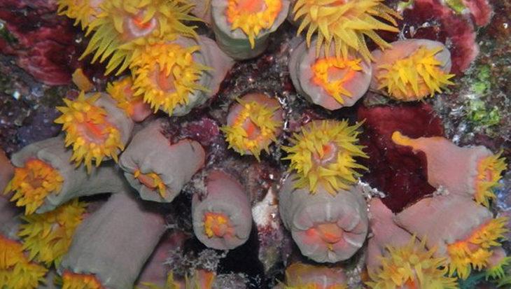 Invasief koraal rond Curaçao blijkt inheemse soort