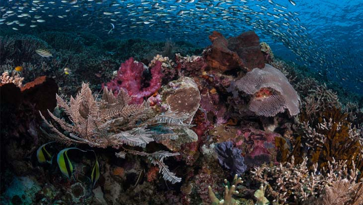 Coralia liveaboard Papua Explorers