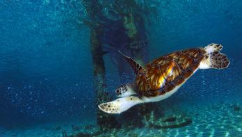 Snorkelen met schildpadden in Curaçao