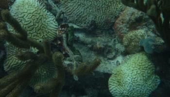 koraalzikete