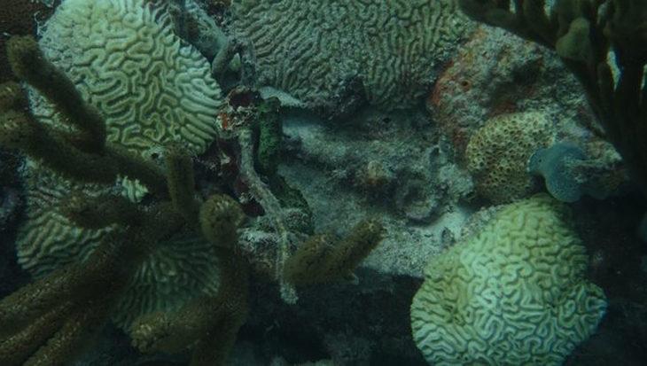 Aanpak dodelijke koraalziekte Caribisch Nederland