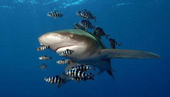 Oceanic whitetip shark (Carcharhinus longimanus) with