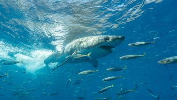 Witte haaien & zeeleeuwen, twee liveaboards in Mexico