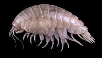 Maak kennis met Eurythenes plasticus, een nieuw diersoort