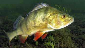 Zoetigheid, top tien zoetwatervissen