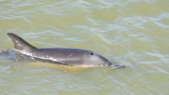 Dolfijn zwemt bij de haven in Harlingen