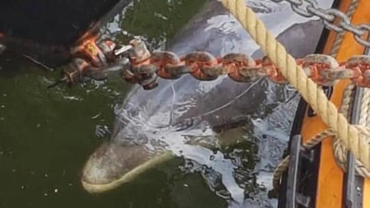 Geredde dolfijn Zafar dood aangespoeld bij Wijk aan Zee