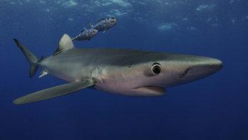 Duiken met blauwe haaien in Europa!