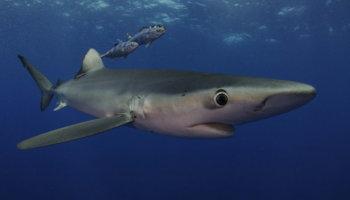 blauwe haaien