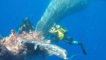 Duikers redden potvis uit visnet voor de kust van Sicilië