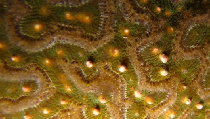 Voorspelkalender coral spawning voor Zuid-Caraïben 2020
