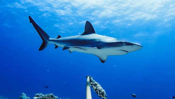 Haaien blijken in veel riffen 'functioneel uitgestorven' te zijn