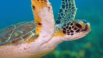 Aantallen groene zeeschildpadden en karetschildpadden Bonaire stabiel