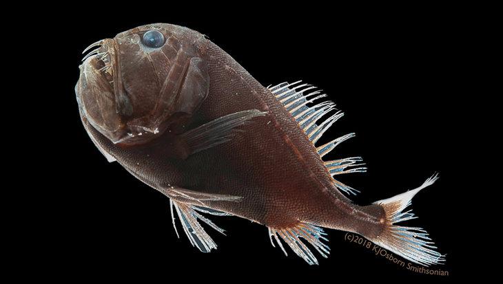 Ultrazwarte vissen blijven onzichtbaar in de diepzee