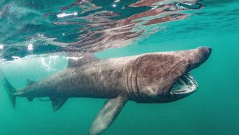 Basking shark: Schotse reuzen