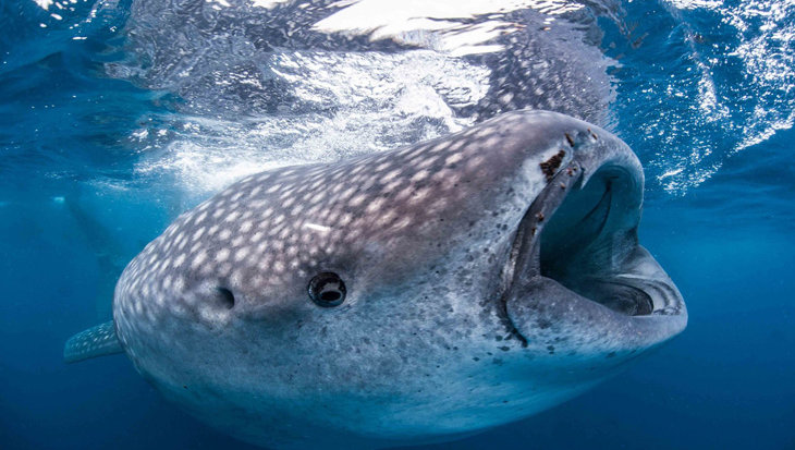 «De plastic zak werd de walvishaai fataal»