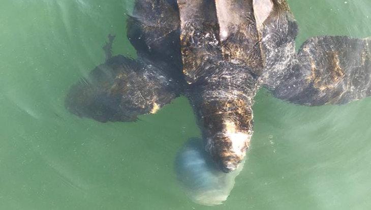 Lederschildpad gespot in Oosterschelde