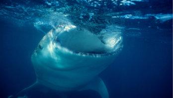 Pakistaanse vissers redden walvishaaien