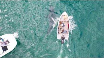 Dode walvis in Australië trekt witte haaien aan