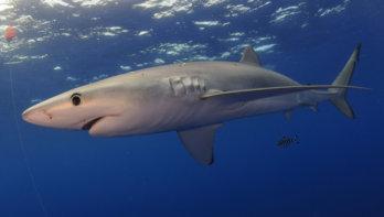500.000 haaien worden mogelijk geslacht voor het coronavaccin