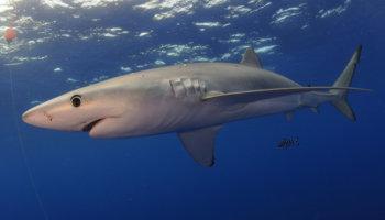 500.00 haaien