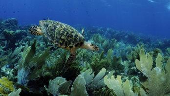Na tien jaar Caribisch Nederland is actie voor koraal nog steeds nodig