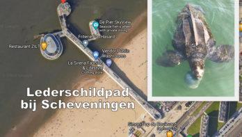Lederschildpad bij Scheveningen waargenomen